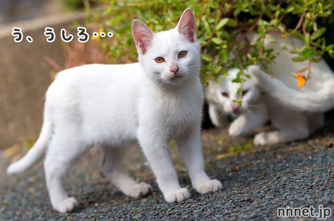 白い子猫たちのじゃれあい|相島の猫・白い仔猫たち①