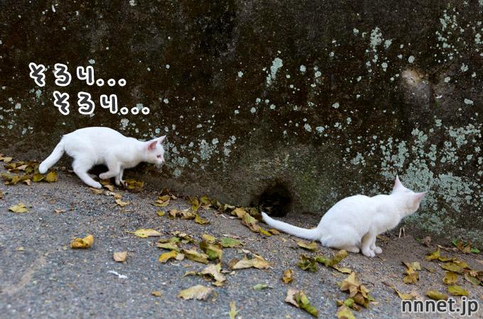 はげしい猫たちの追いかけっこ|相島の猫・白い仔猫たち②