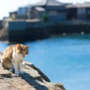 愛媛県・青島の猫