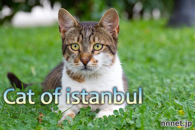 イスタンブール・愛されるキジ白さん/tabby cat in Istanbul