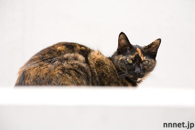 サビ猫 tortoiseshell cat