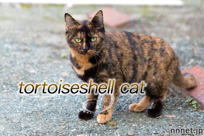 【猫画像たくさん!】サビ猫のことを英語で言うと「tortoiseshell cat」