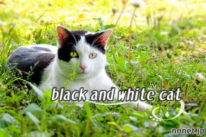 【猫画像たくさん!】黒白猫のことを英語で言うと・・・