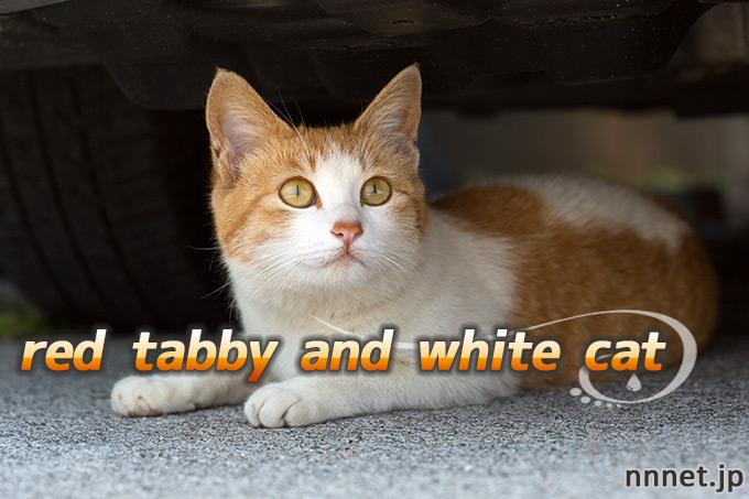 【猫画像たくさん!】茶白猫のことを英語で言うと「red tabby and white cat」「orange tabby and white cat」
