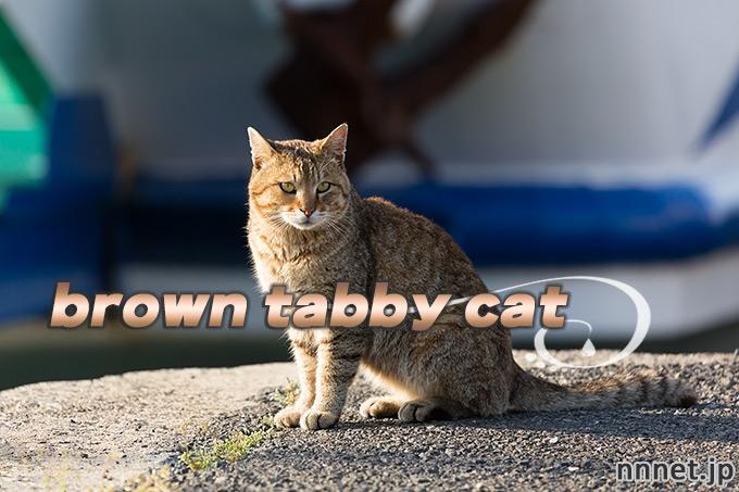 【猫画像たくさん!】キジトラ猫のことを英語で言うと「brown tabby cat」