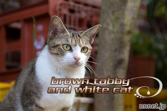 【猫画像たくさん!】キジ白猫のことを英語で言うと・・・